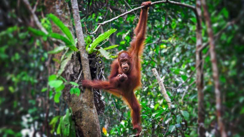 animales indonesia orangutan
