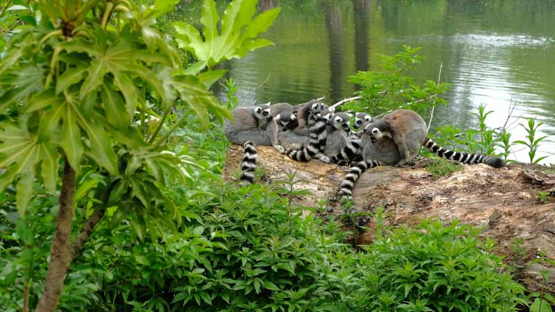 viaje a madagascar lemures