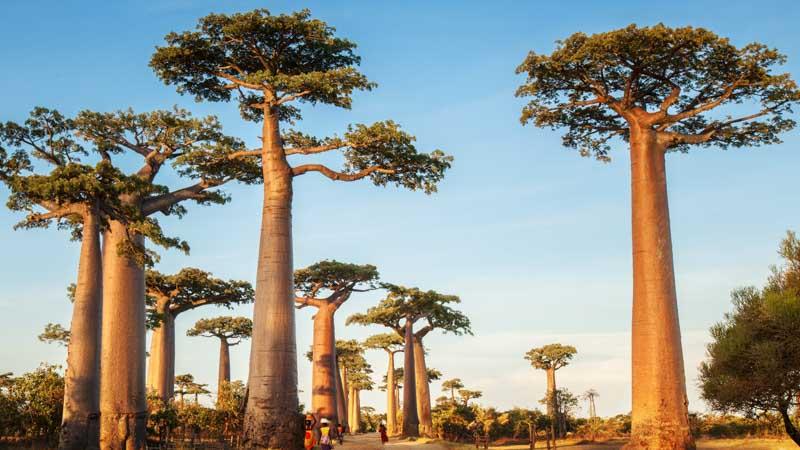 vieja a madagascar baobab